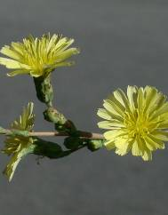 Lactuca serriola for. integrifolia