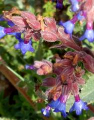 Anchusa calcarea